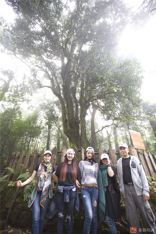勐库大雪山1号野生大茶树